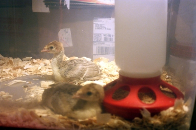 Two Bourbon Red Poults 2013