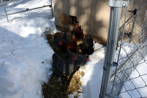 Working on clearing the run so they will come out of the coop.  They're standing on used bedding on top of packed snow.