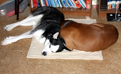 Husky never left his side even after Boxer was back to normal.